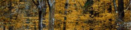 Giving Tree: image of fall golden birch trees